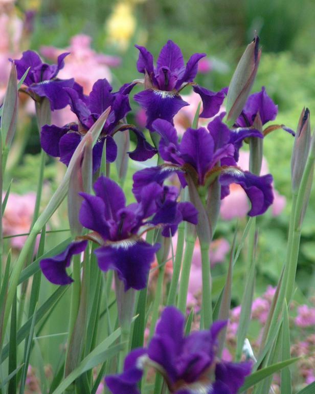 Ruffled Velvet Siberian Iris (Iris sibirica 'Ruffled Velvet'), courtesy of www.PerennialResource.com