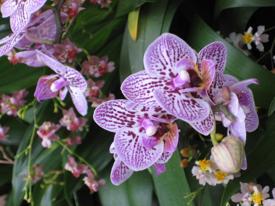 Colorful Easy To Grow Moth Orchid Varieties Hgtv