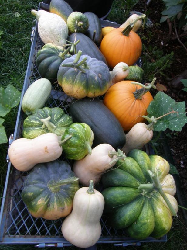 Homegrown variety of winter squash. Homegrown winter squash.