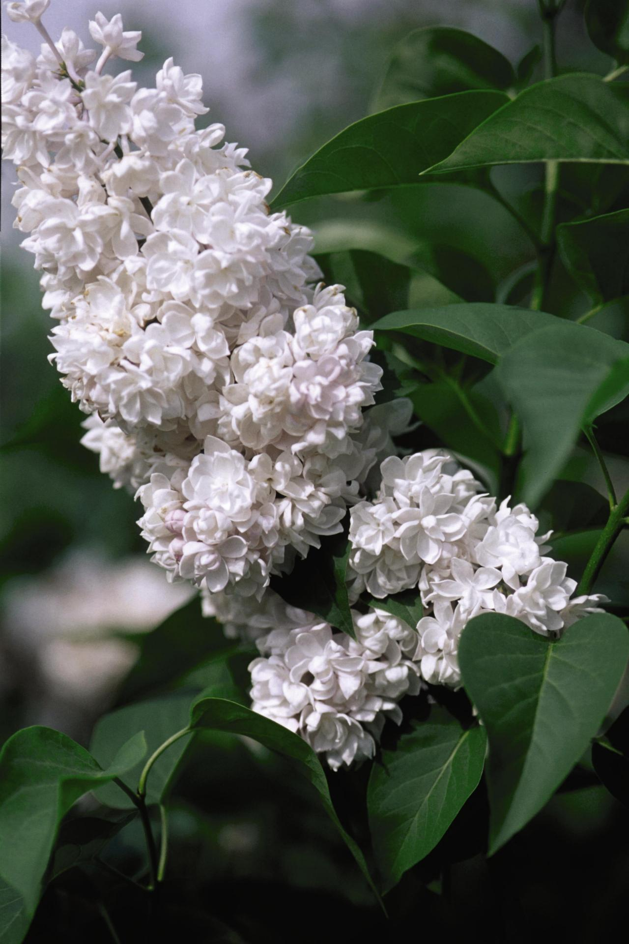 How To Plant And Care For Lilacs Hgtv