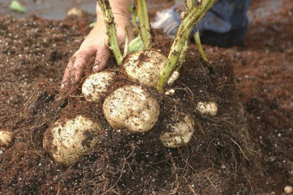Potatoes and Stems In Soil