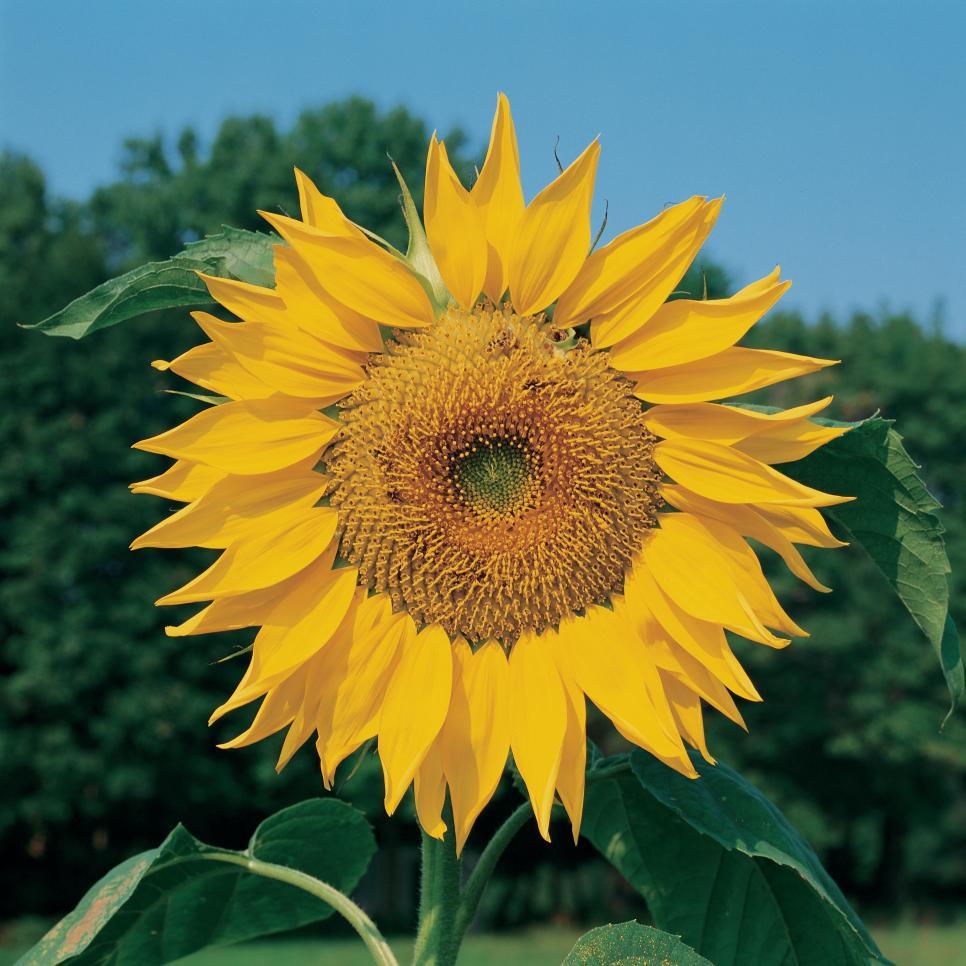 966 x 966 jpeg 112kBSunflower