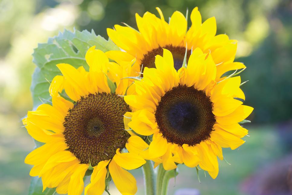 Big and Small Sunflower Varieties - Different Sunflower Sizes | HGTV