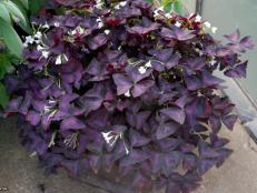 Oxalis triangularis  (01) Habit