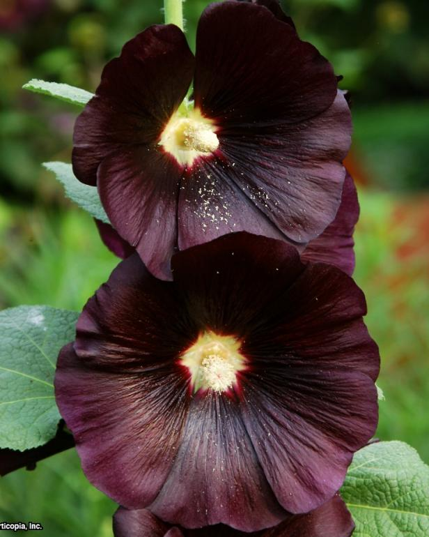 Alcea rosea ~Nigra~ (02) Bloom