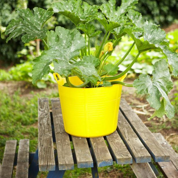 Zucchini Plant Container Garden