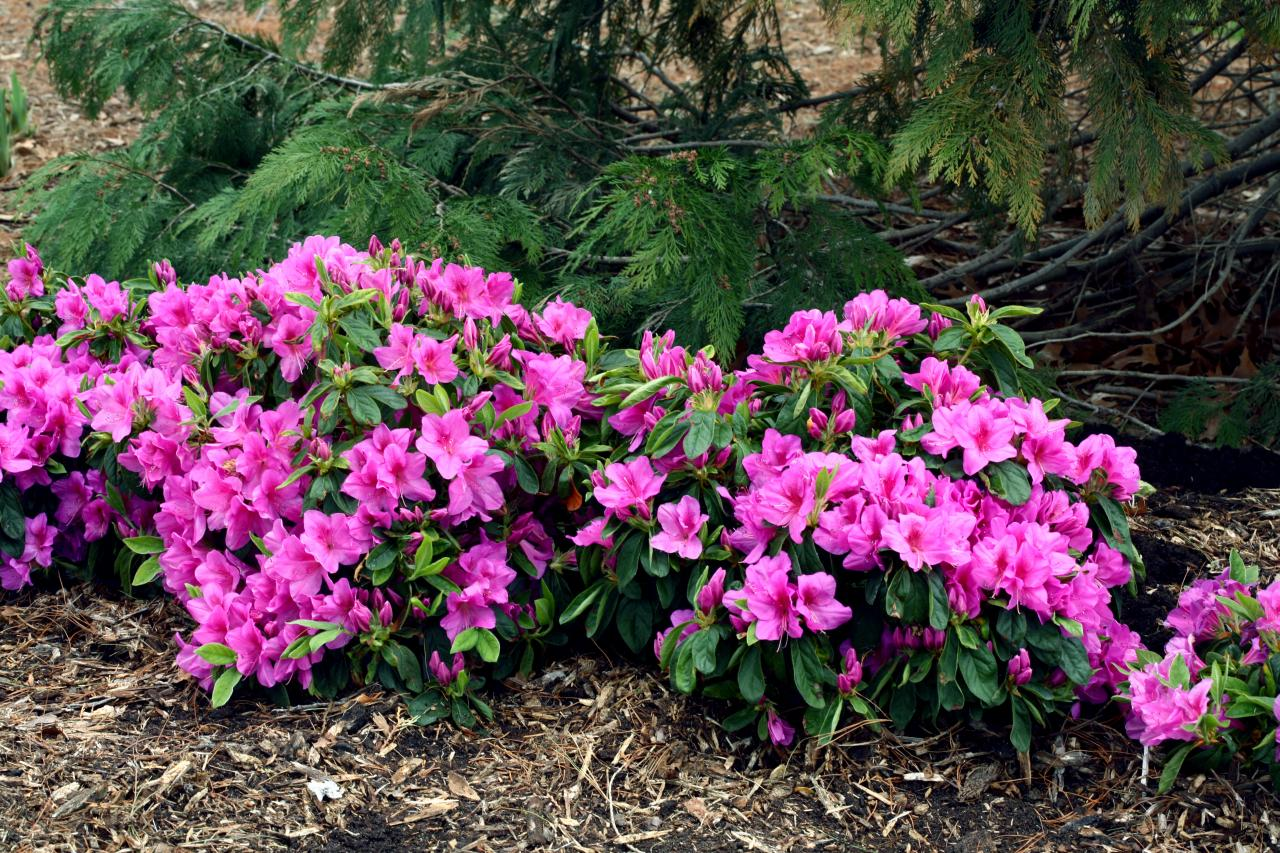 7 shrubs for shade gardens hgtv for Low maintenance bushes for shade