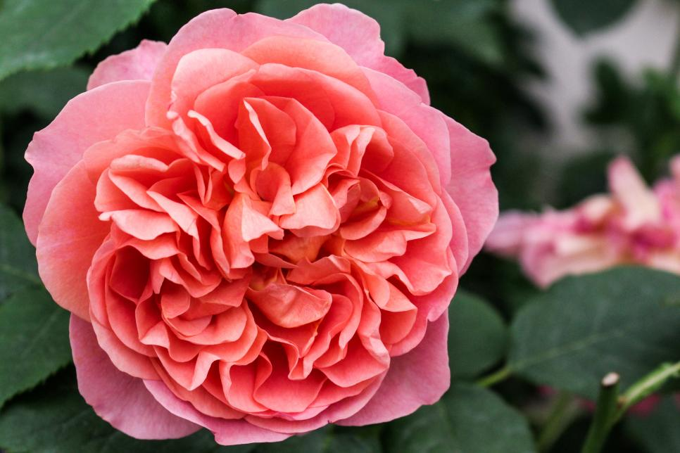 21 Beautiful Rose Varieties Hgtv