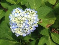 Hydrangea Leaf Spot