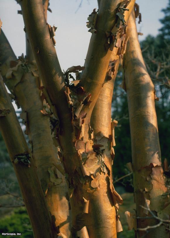 Acer griseum  (01) Bark/Stem/Trunk