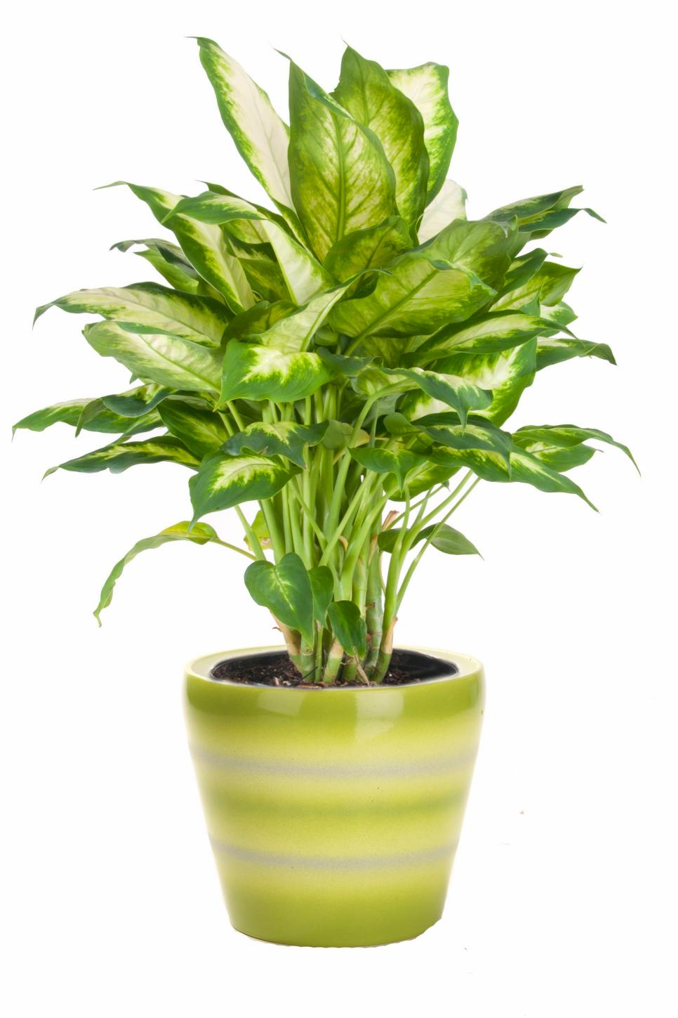 Shop house plants in the plants, bulbs & seeds section of fonodeqajebajof.gq Selection · 10% Military Discount · Easy Shipping & Delivery · One-Stop-Shop for Outdoor,+ followers on Twitter.