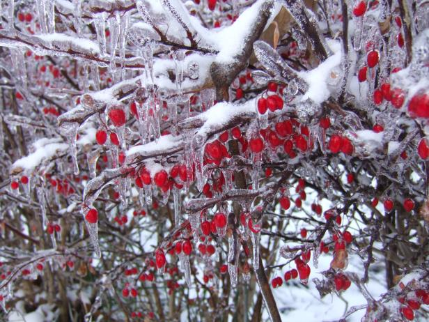 Ice on Barberry