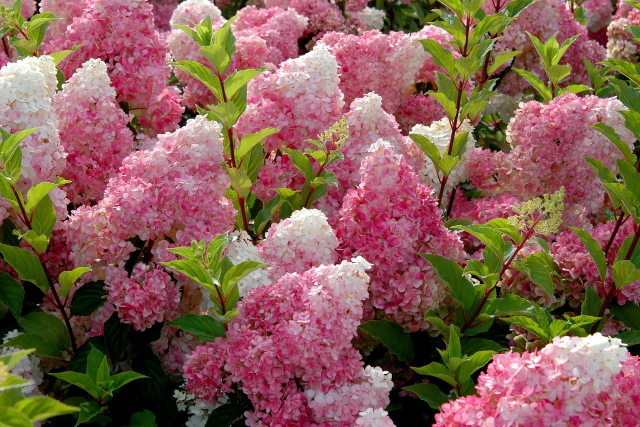 Vanilla Strawberry Hydrangea   HGTV