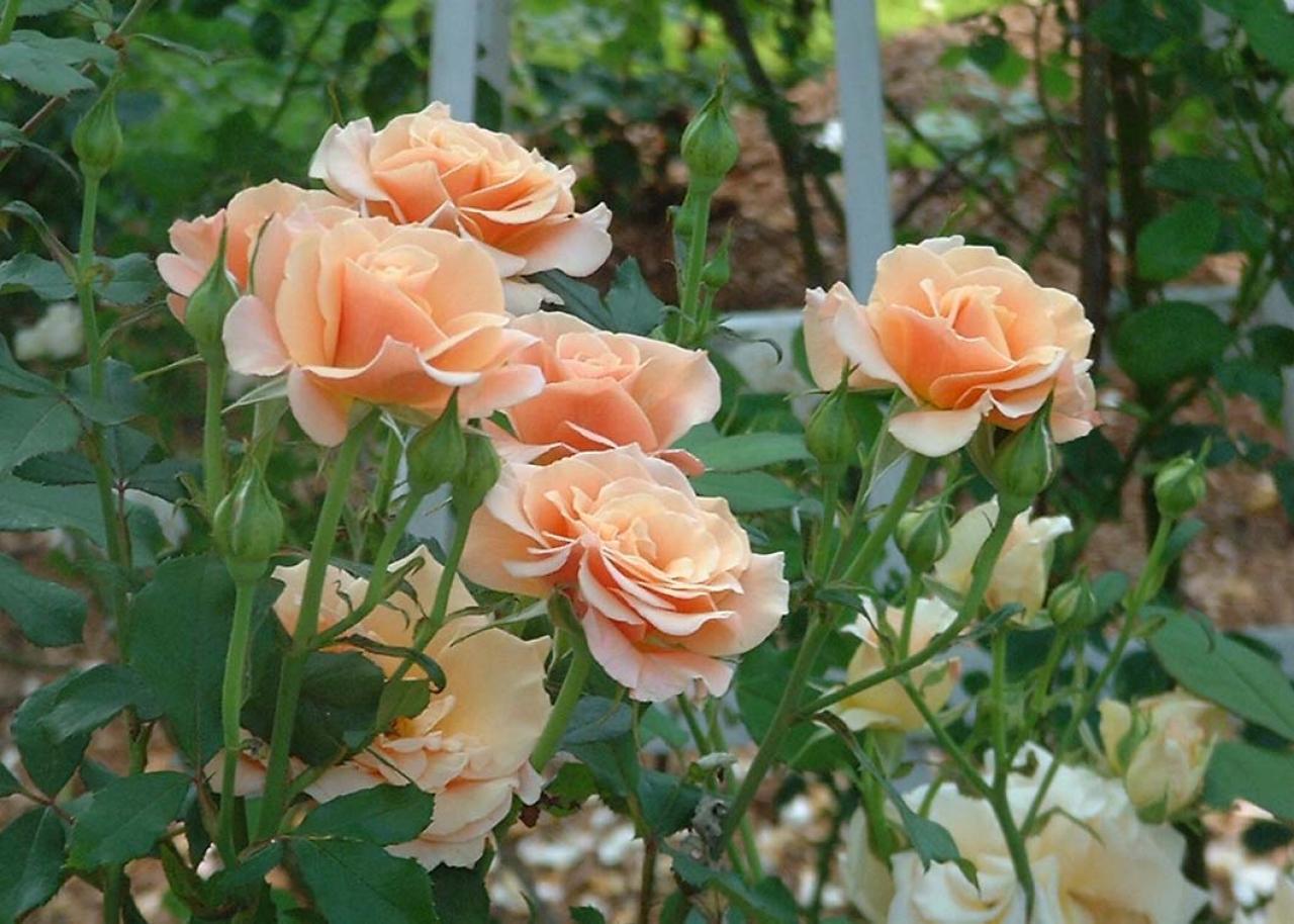A Cape Cod Rose Garden