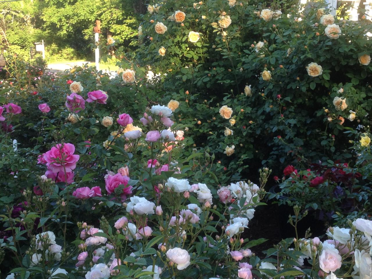 Rose garden design tips hgtv for Rose garden design