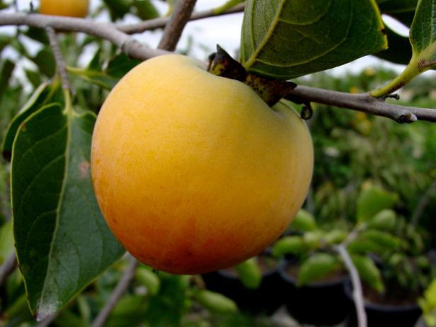'Prok' American persimmon