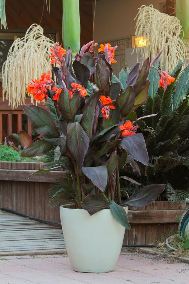 Canna 'Orange Chocolate'