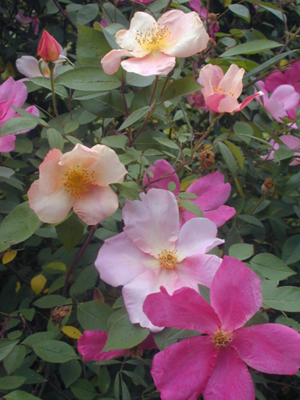Summer-Flowering Shrubs | HGTV