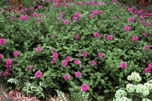 'Homestead Purple' Verbena
