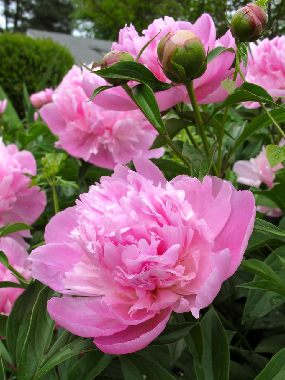 Perennial plants for winter spring perennial flowers hgtv - Growing peonies in the garden ...