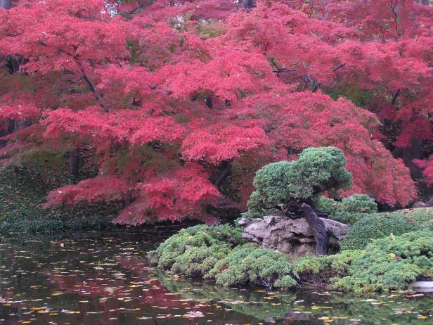 Red Maple Fantasia