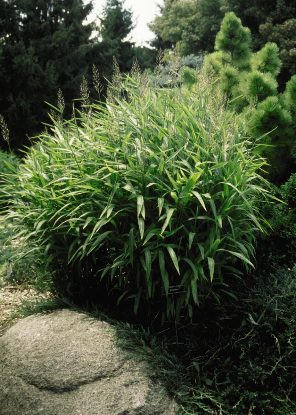 13 terrific tall grasses hgtv for Tall perennial grasses