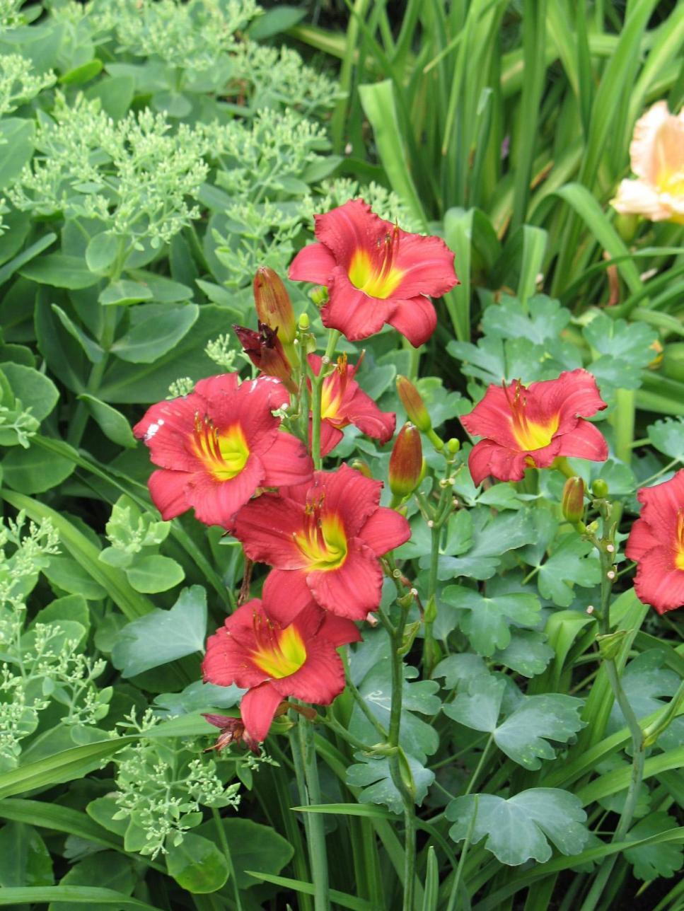 Favorite Summer Blooming Perennials Hgtv