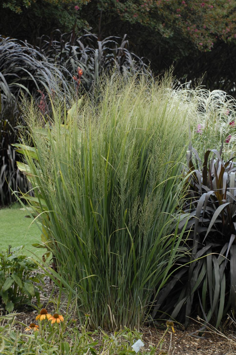 13 terrific tall grasses hgtv