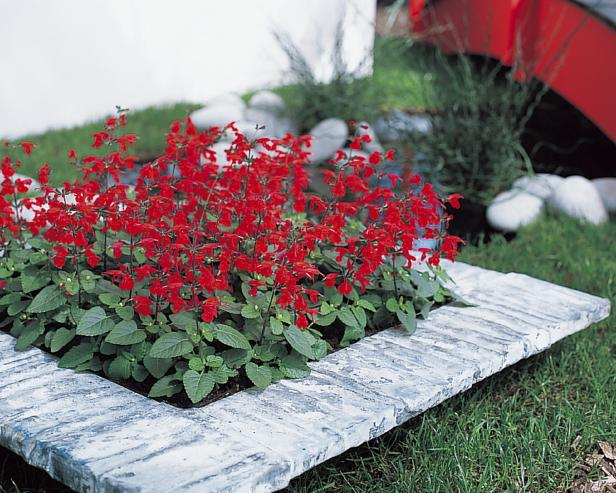 'Summer Jewel Red' (Salvia coccinea 'Summer Jewel Red')