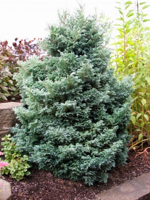 False Cypress 'Baby Blue'