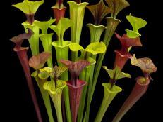 Yellow Trumpet Pitcher Plant
