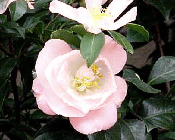 Camellia japonica 'April Blush'