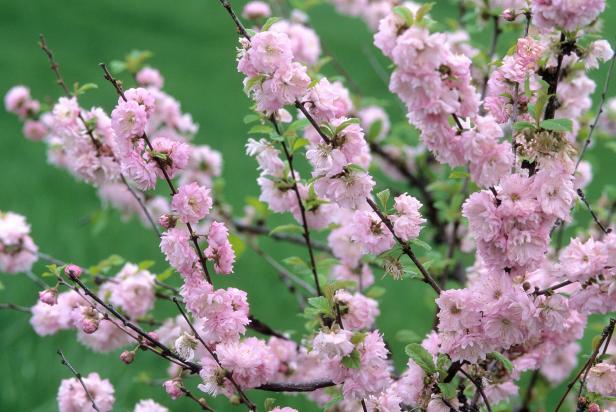 Double Flowering Plum (Prunus triloba)