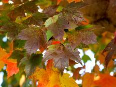 'Sun Valley' Maple (Acer rubrum 'Sun Valley')