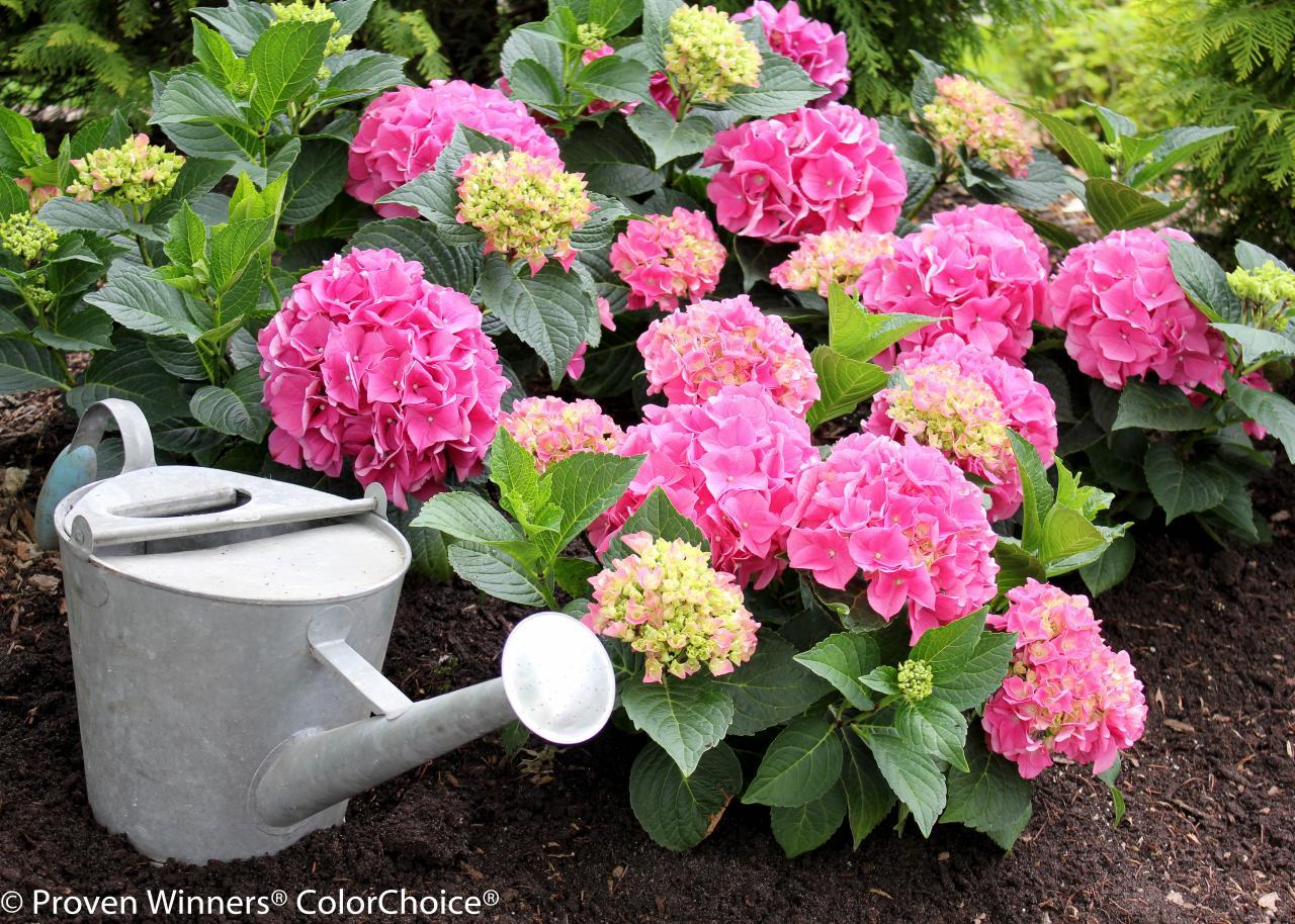 Сажаем гортензию розовую 11