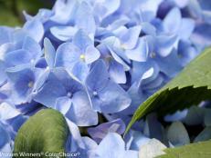 Pruning Hydrangeas in spring | Fine Pruning |Pruning Roses