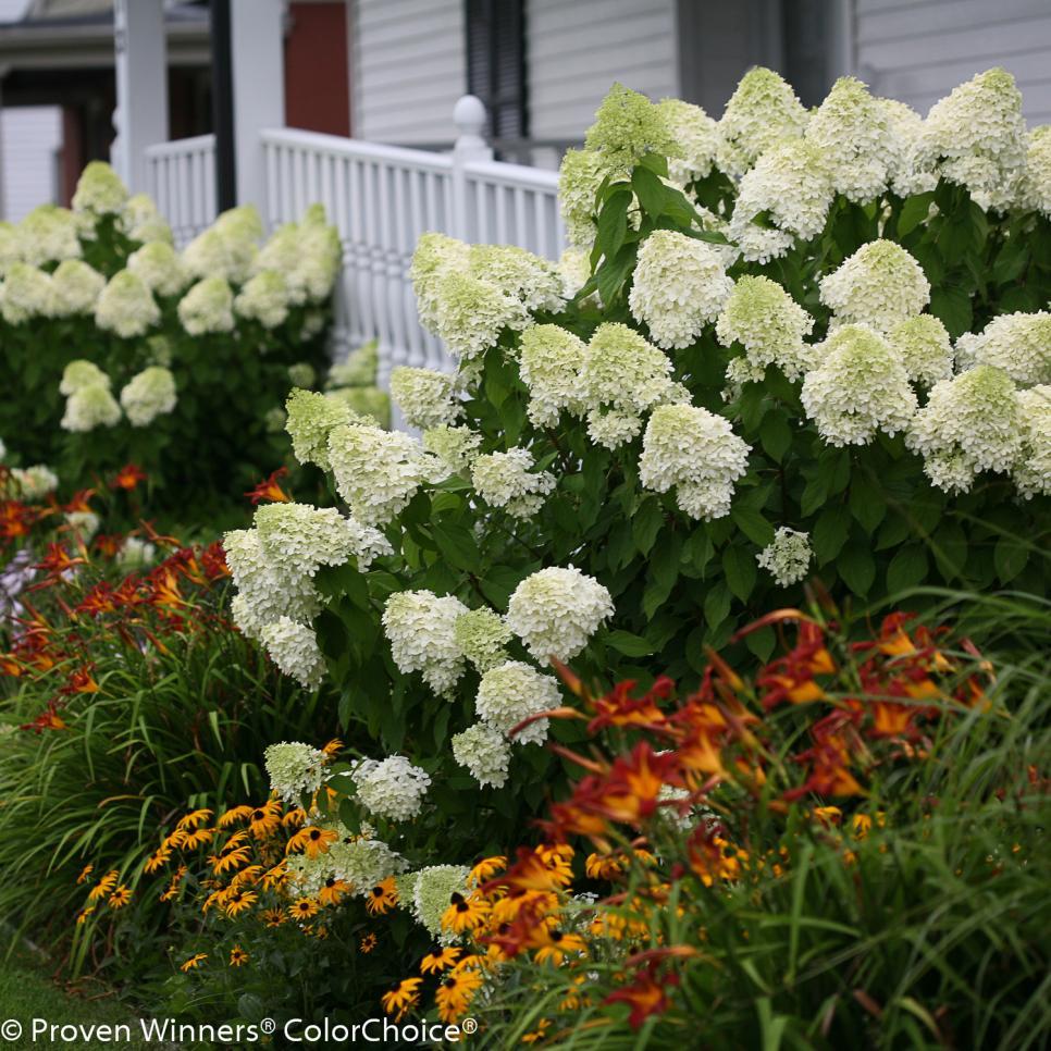 Plant Hydrangeas: Hydrangea Paniculata Varieties