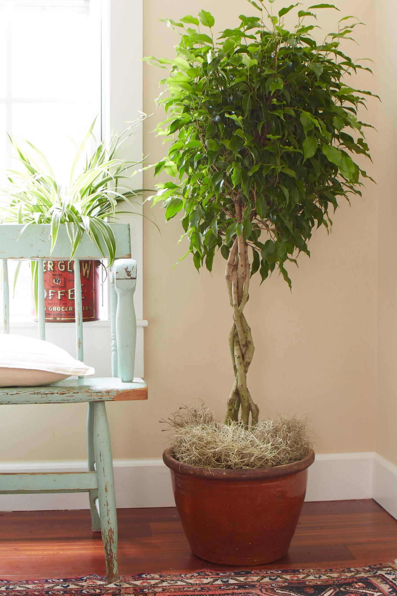 Tips for caring for your ficus tree hgtv for Maintenance of indoor plants