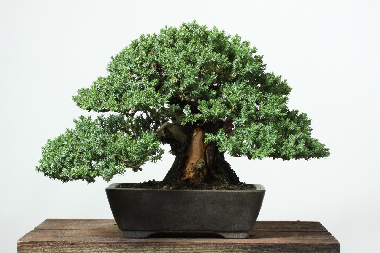 Bonzai Tree how to cultivate and care for bonsai trees | hgtv