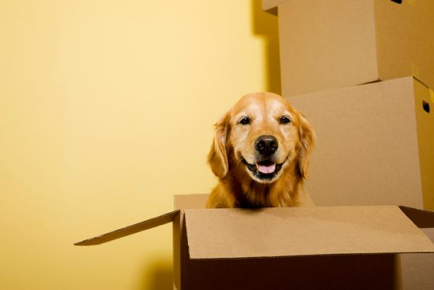Golden Retriever in Moving Box