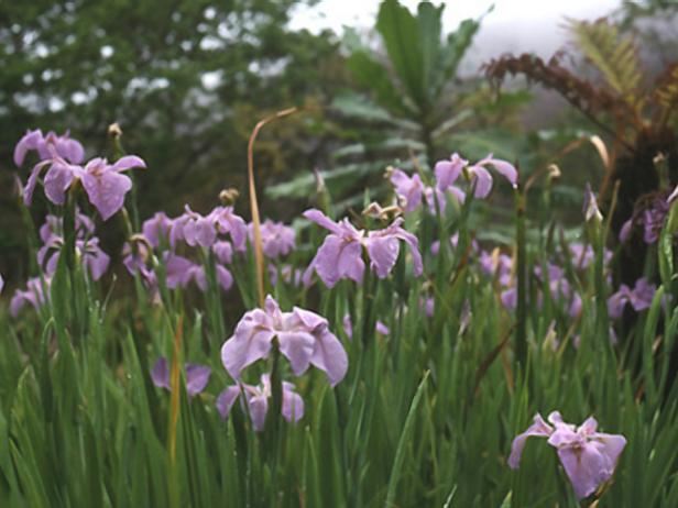 iris plants in a waterlogged garden hgtv. Black Bedroom Furniture Sets. Home Design Ideas