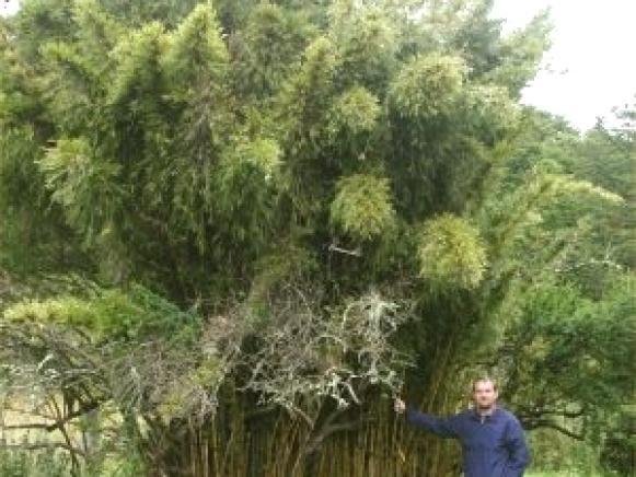 bamboo_Chusquea_Chile