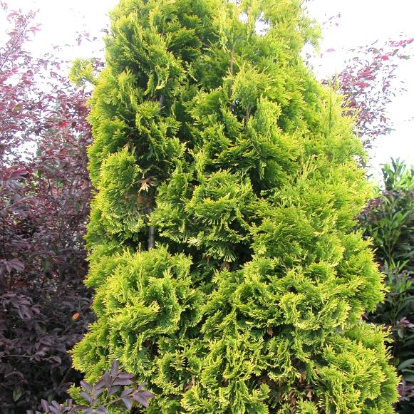 bright_arborvitae_yellowribbon_mh