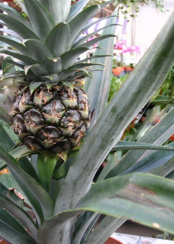 Resort_pineapple