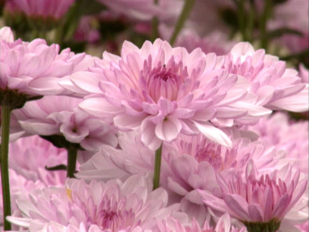 how to grow show chrysanthemums