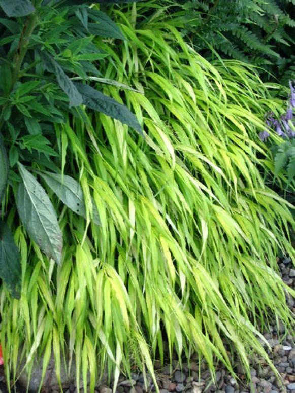 hakone_grass