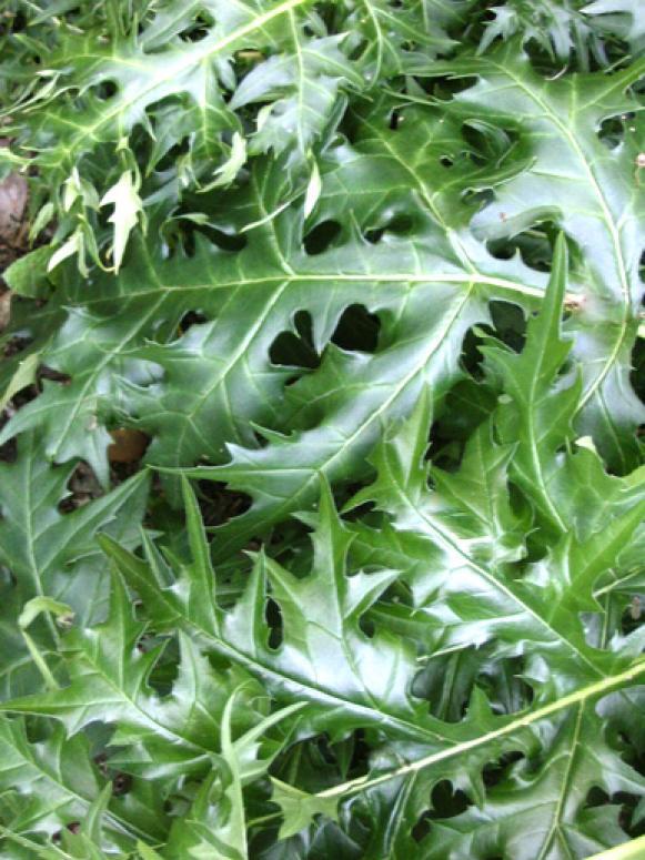 acanthus_spinosus_foliage