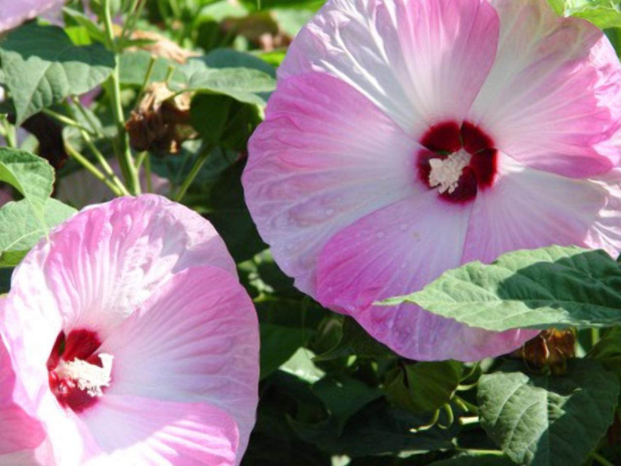 hibiscus rose mallow hgtv