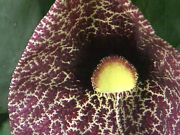 Upwardly_Mobile_Aristolochia_elegans