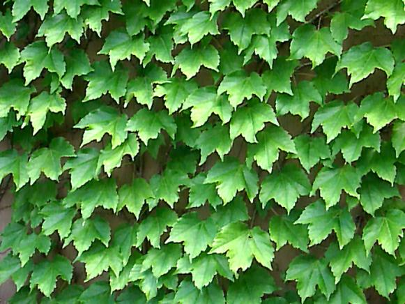 Upwardly_Mobile_Boston_ivy